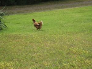 chickenwithsnake