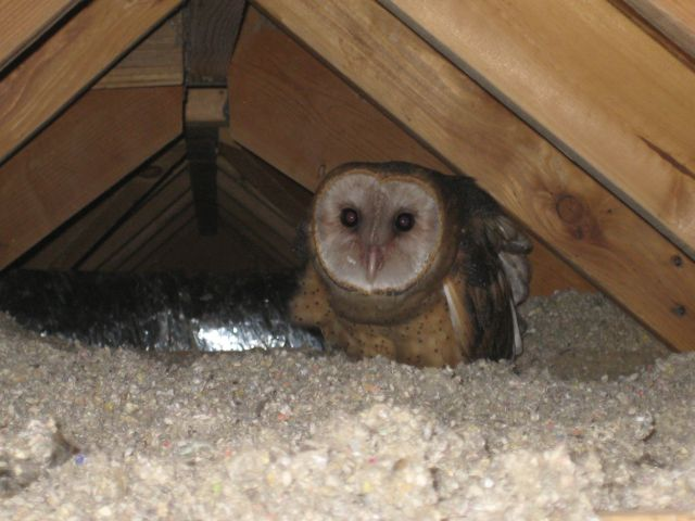 baby owls in the attic