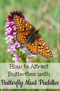 Attract butterflies with butterfly mud puddles. Itsawahmlife.com