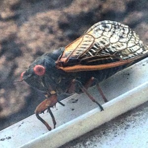 17 year cicadas come to kansas